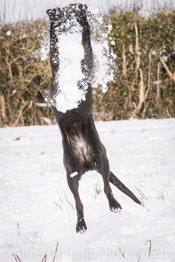 dog trying to catch snowballs